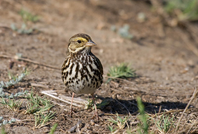 Belding's Savannah Sparrow