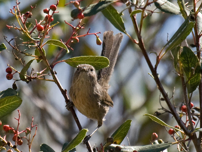Wrentit with tail growth bars