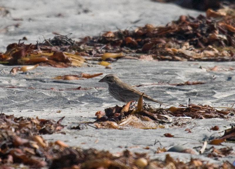 Large-billed Savannah Sparrow