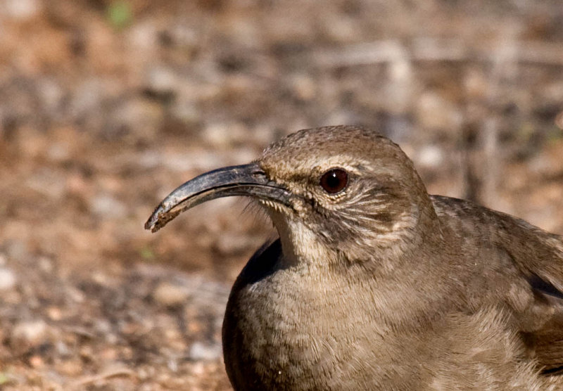 California Thrasher at Lake Hodges, photo by Greg Gillson
