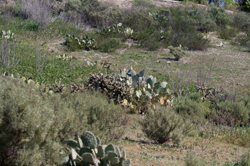 Pricky Pear Cactus Guajome Park