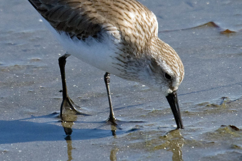 Western Sandpiper semipalmated toes