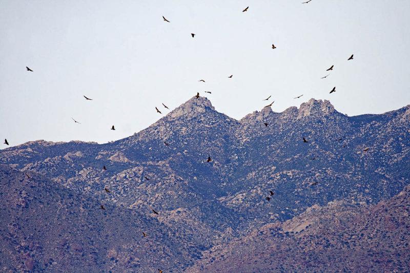 Flock of Swainson's Hawks over Borrego Springs