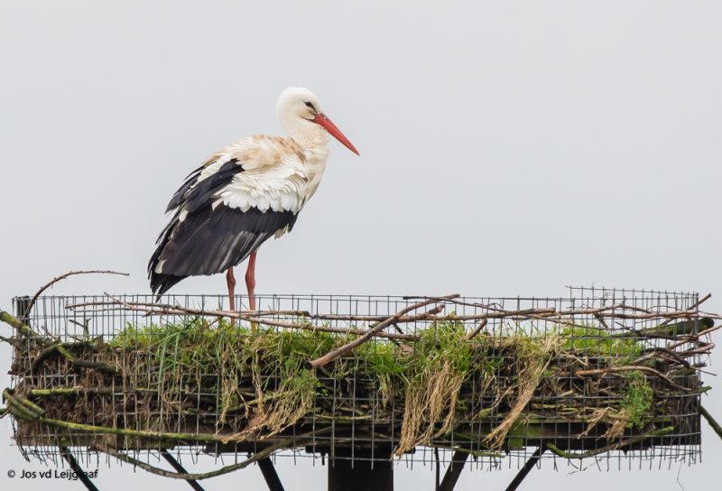 Ooievaar vrouw Paddenpoel vroeg terug op nest .