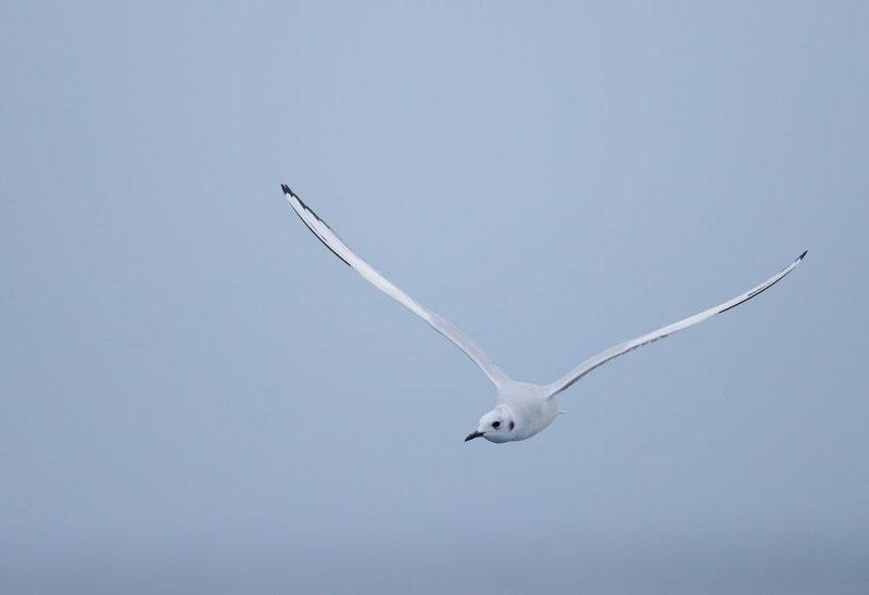 Bonapartes Gull, non-breeding plumage