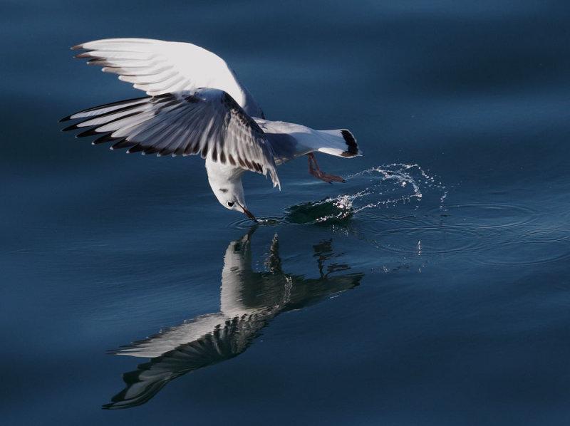 Bonapartes Gull, foraging