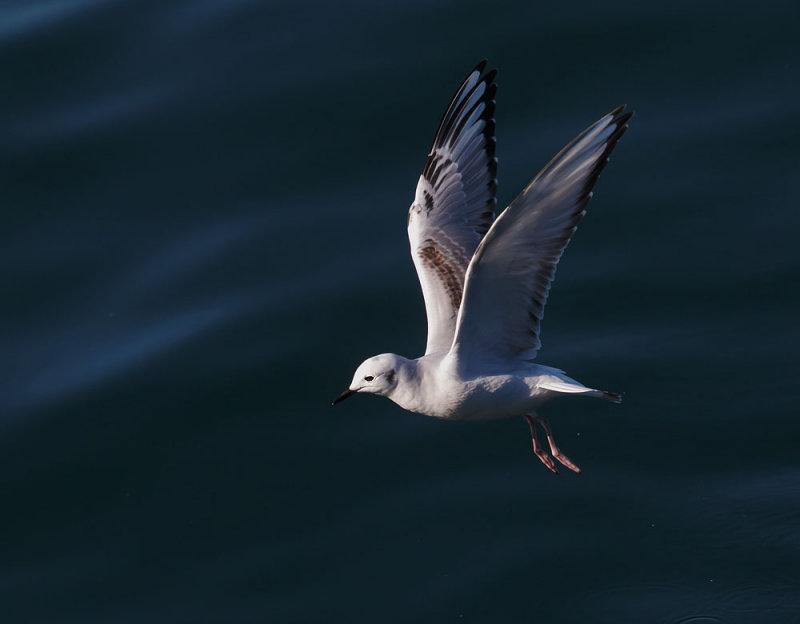 Bonapartes Gull