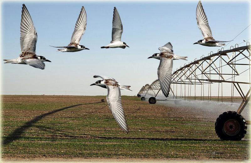 White-Winged-Tern-Montage-1.jpg