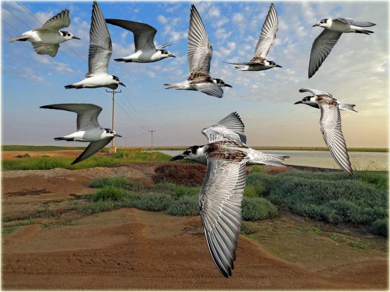 White-Winged-Tern-Montage-w.jpg