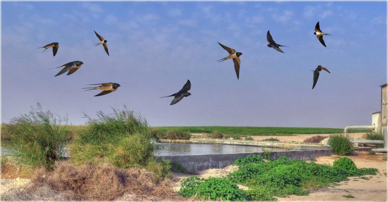 Barn Swallow Motage