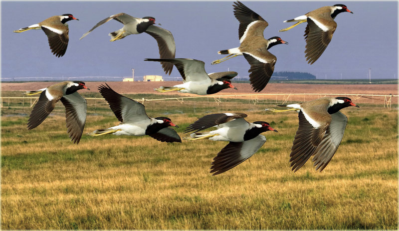Montage Red Wattled Lapwing