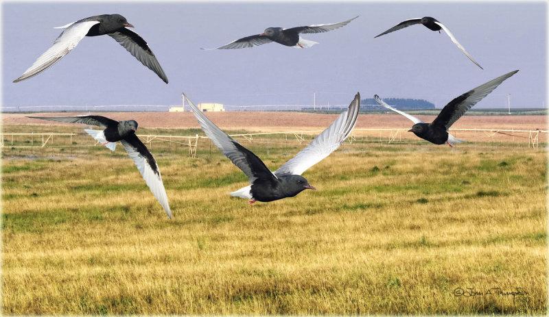 White Winged Tern Montage
