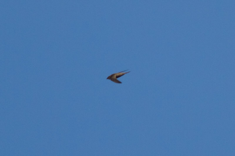 Nyanza Swift (Apus niansae)
