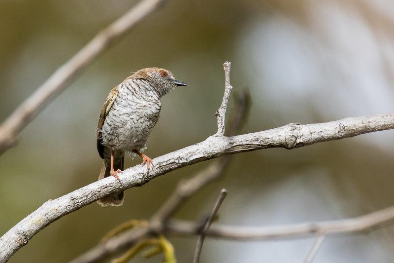 Stierlings Wren-Warbler (Calamonastes stierlingi)