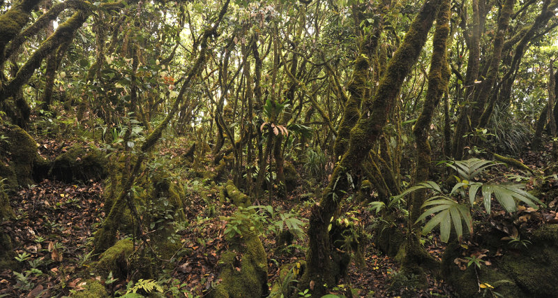 Mossy forest on Morne Blanc.
