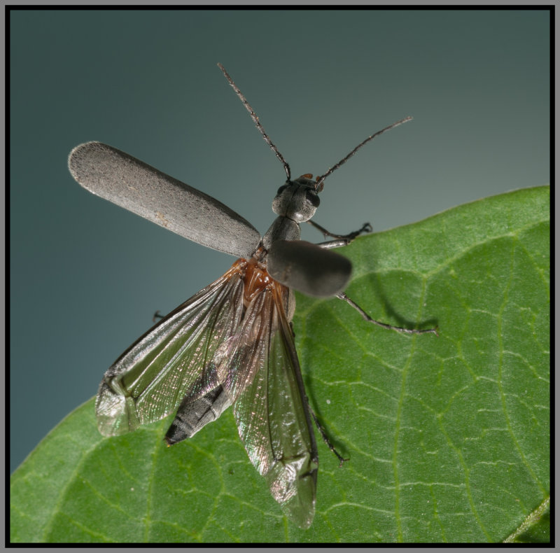 Blister Beetle - (Epicauta sp.)