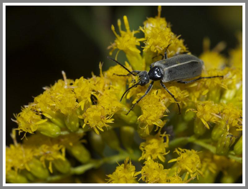 Blister Beetle (Epicauta heterodera)