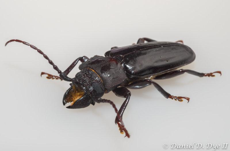 Cerambycid Beetle - Stump Borer (Mallodon dasystomus)