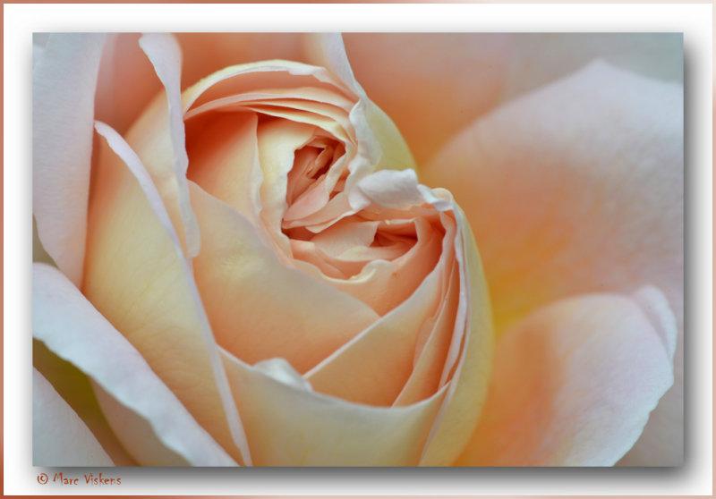 close-up rose