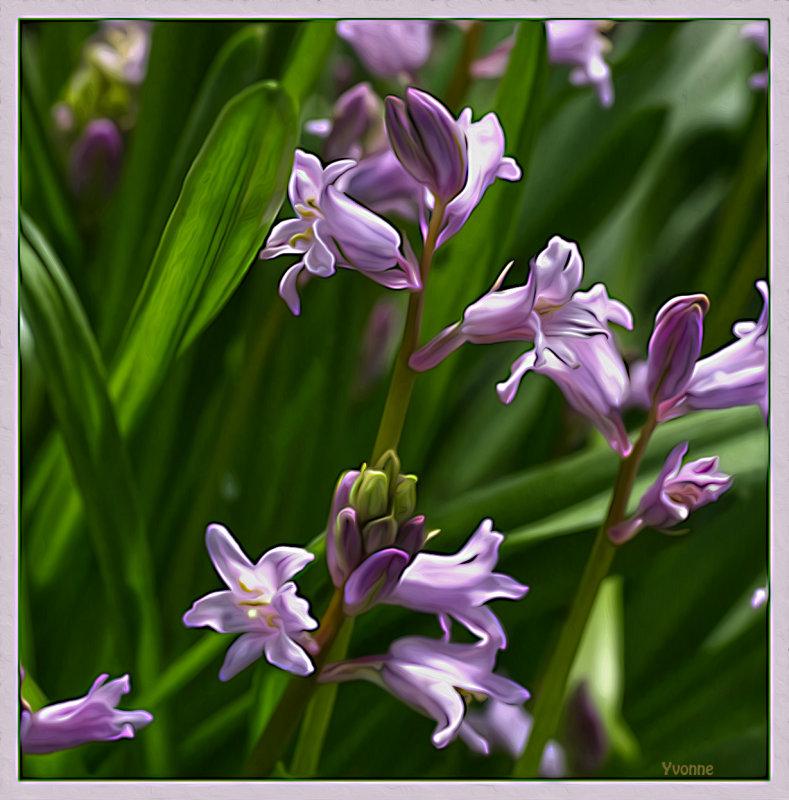 Pink bluebells