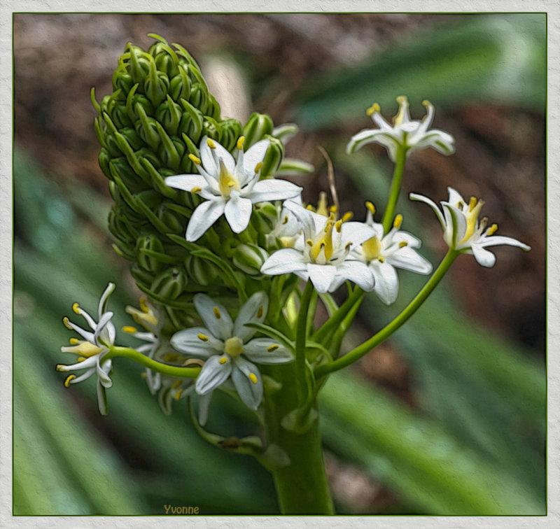 Cuban Lily, white