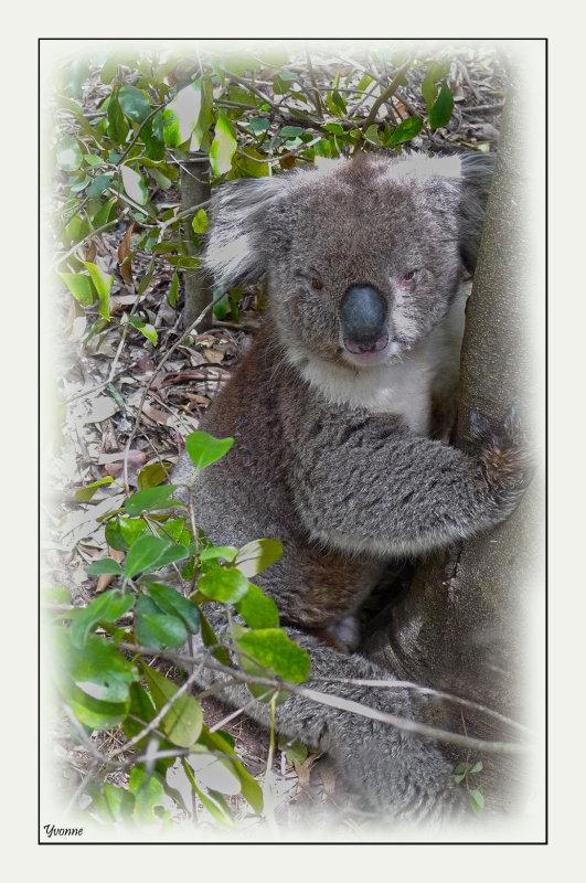 Stressed koala
