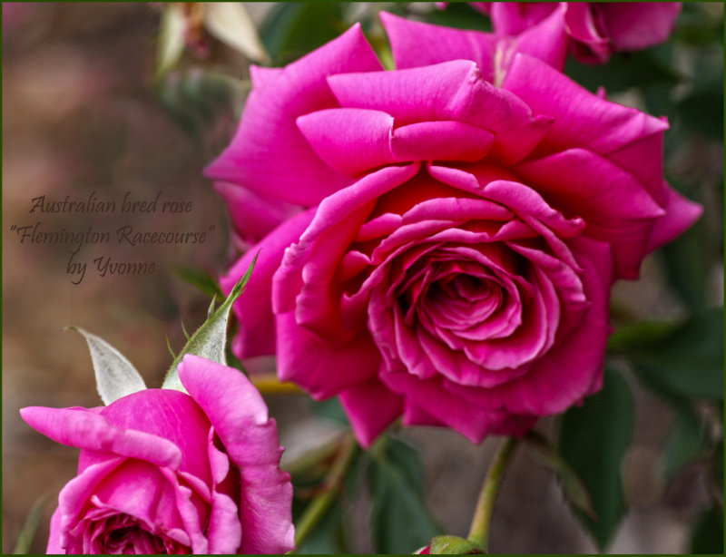 Aussie bred rose No. 1 on display