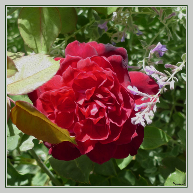 Shy little rose