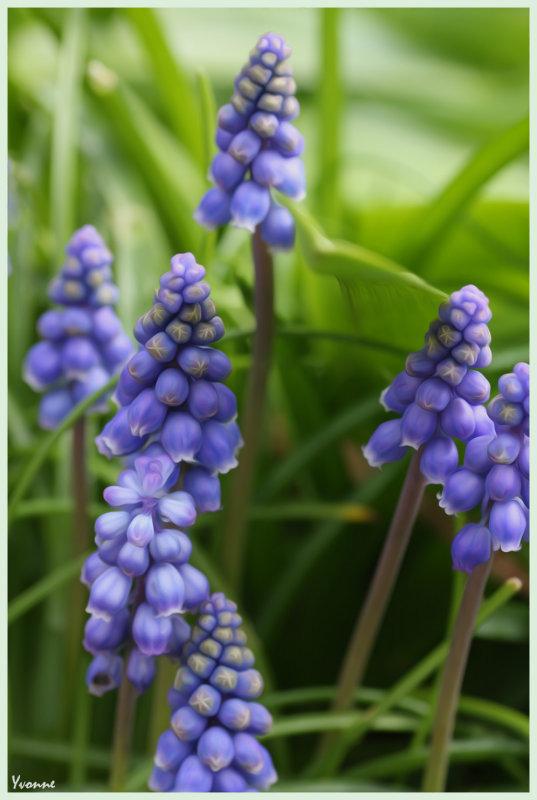 Muscari - Grape Hyacinths