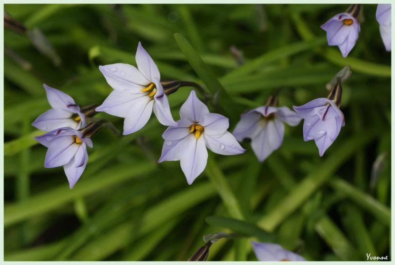 Ipheions - Star Flowers