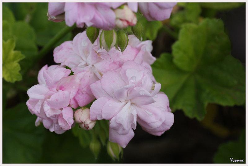 Pelargonium genus