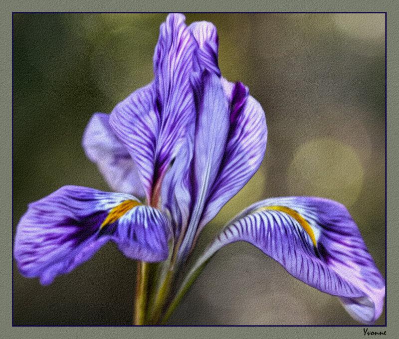 Winter Iris, different lighting