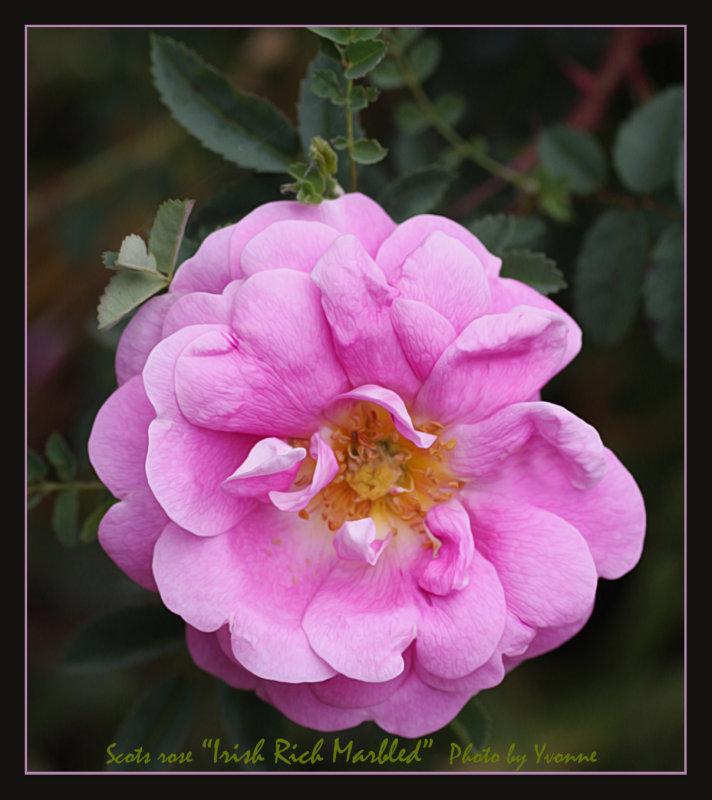 Scots rose Irish Rich Marbled