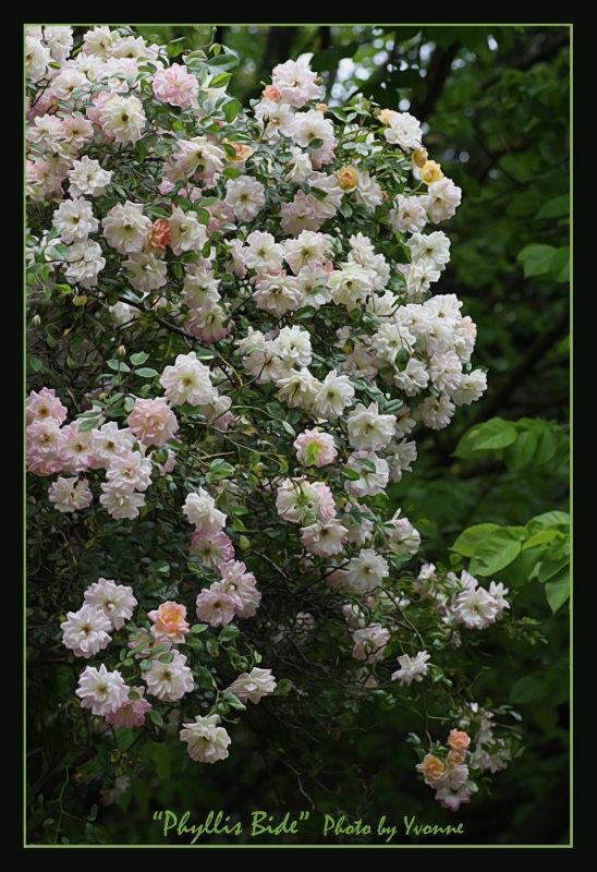Phyllis Bide a rambling rose