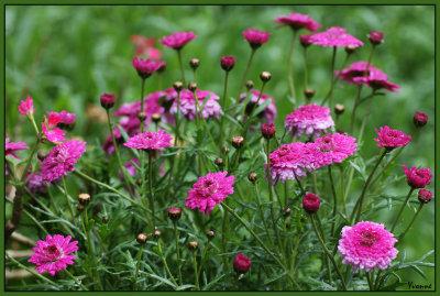 Argyranthemum Frutescens - Federation Daisy