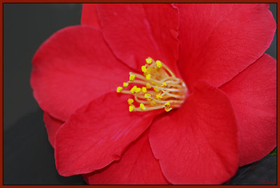 The red camellia