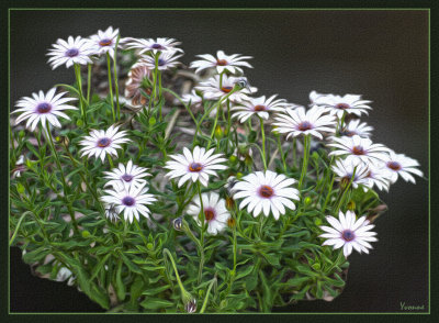 South African daisies