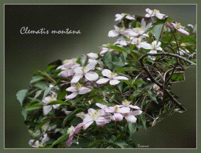 C.montana Elizabeth
