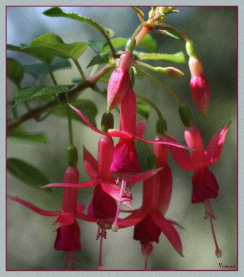Tiny fuchsia blooms