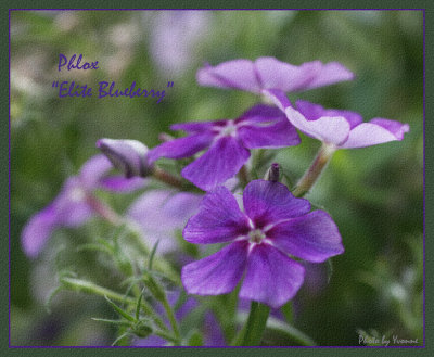 Phlox Elite Blueberry