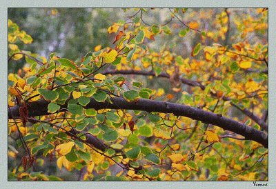 The Linden Tree turning gold