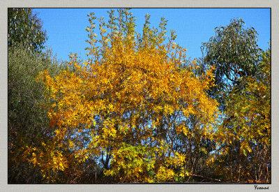 Golden ash in April