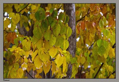 Ornamental Pear tree up close