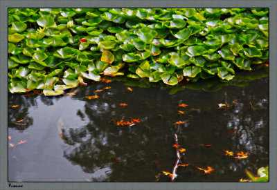 Reflections in the lily pond