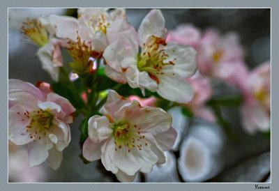 Crab Apple in bloom