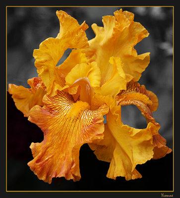 Tall Bearded Iris 2