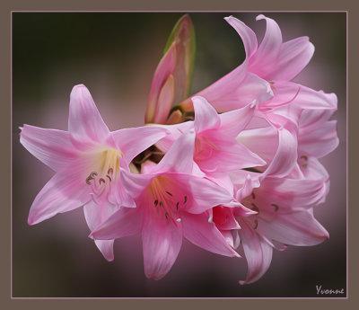 The Belladonna Lily