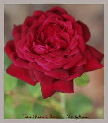St. Francis Xavier rose for Valentine's Day