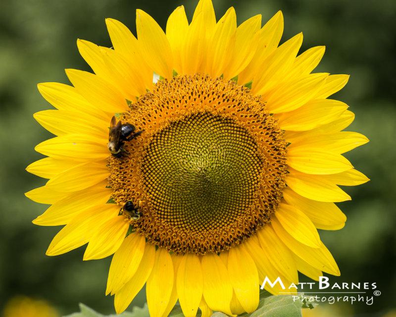 Dr. Wolffs Sunflowers-0159_8x10.JPG