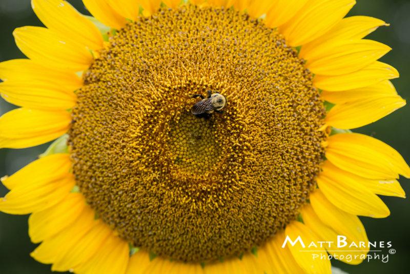 Dr. Wolffs Sunflowers-0182_4x6.JPG